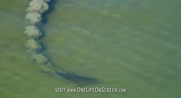 golfinhos nariz de garrafa, imagem de um golfinho nariz de garrafa formando de uma rede de lama para encurralar peixes menores