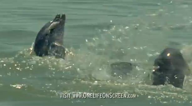 golfinhos nariz de garrafa, Imagem de um golfinho nariz de garrafa com um peixe na boca