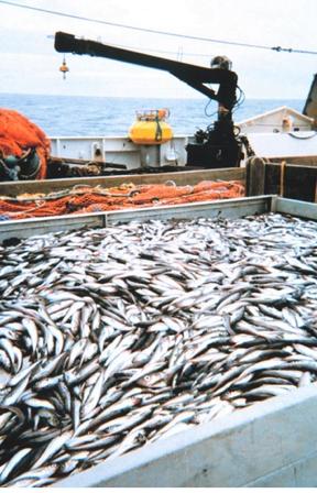 Exploração dos oceanos deve ser repensada, Imagem de navio pesqueiro com o convés repleto de peixes