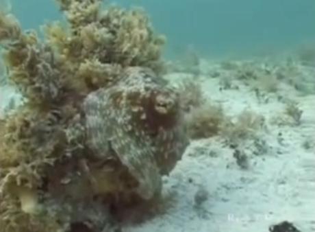 criaturas marinhas fantásticas, Imagem submarina de um polvo em fase final da metamorfose.