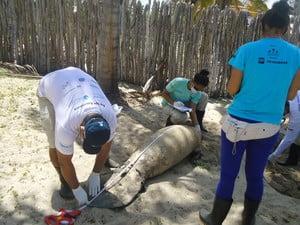 imagem de Filhote de peixe-boi sendo medido na praia