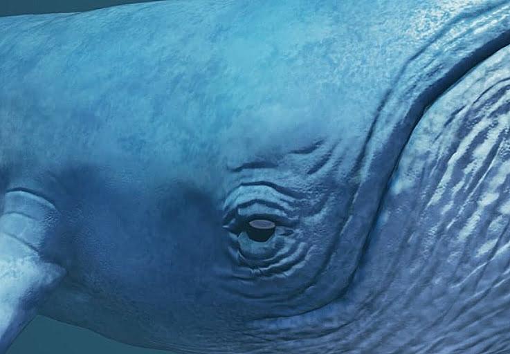 Baleias azuis, imagem de baleia azul