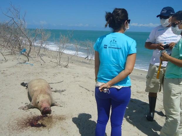 imagem de Filhote de peixe-boi morto na praia