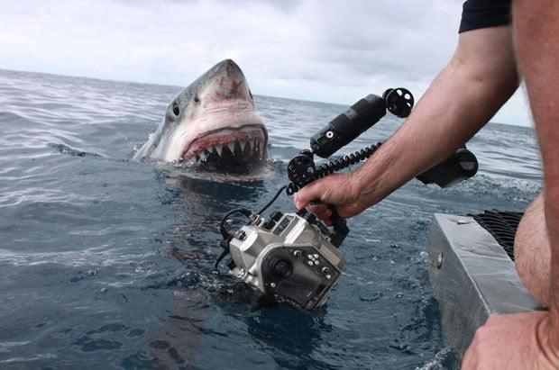Tubarão branco, imagem de Tubarão branco