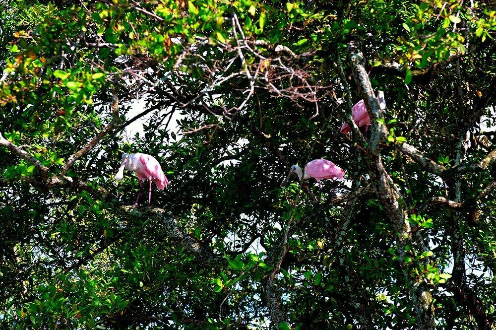imagem de colhereiros na copa do mangue da baía da Babitonga