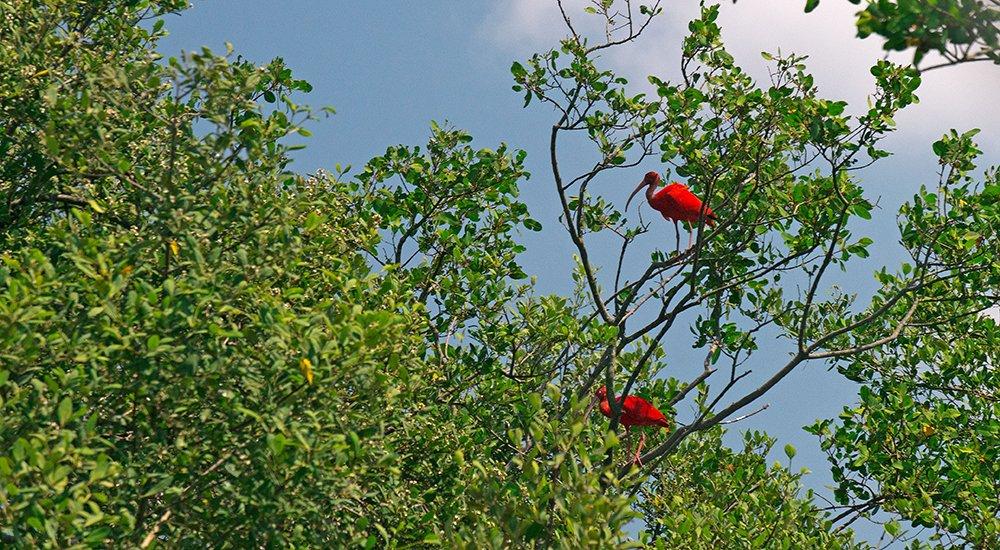 imagem de guarás no mangue da baía da babitonga