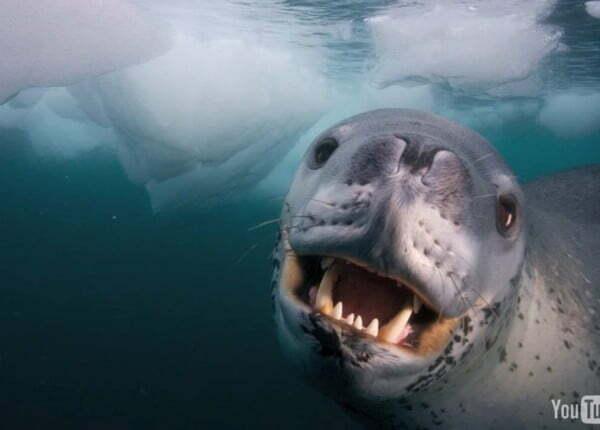 foca-leopardo submersa