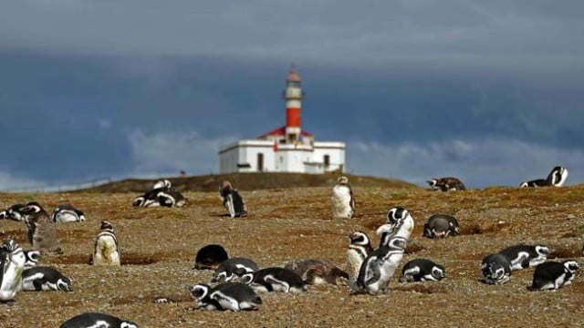 Aquecimento global ameaça pinguins de Magalhães