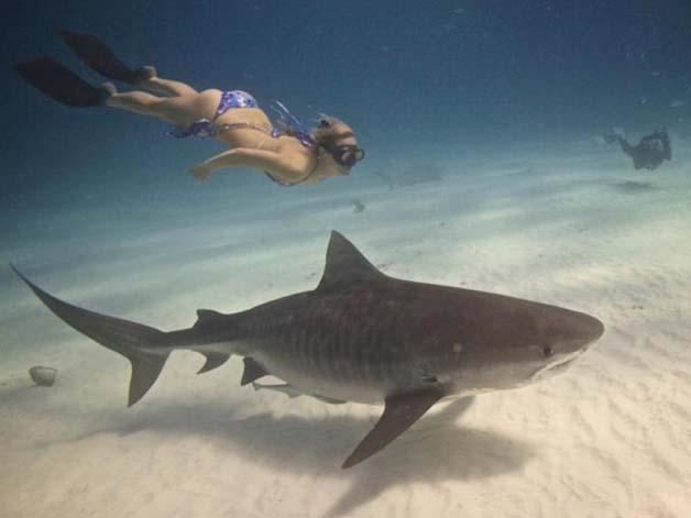 Bióloga nada com tubarões brancos, imagem de bióloga nadando  dom tubarão branco