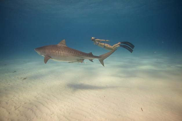 Bióloga nada com tubarões brancos, Foto de bióloga nadando com tubarão
