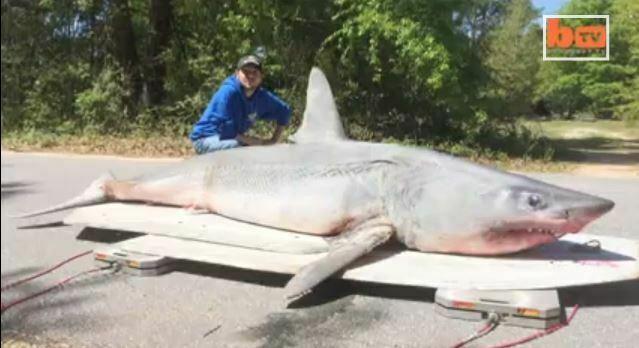 tubarão gigante, imagem de Captura de tubarão gigante na Flórida