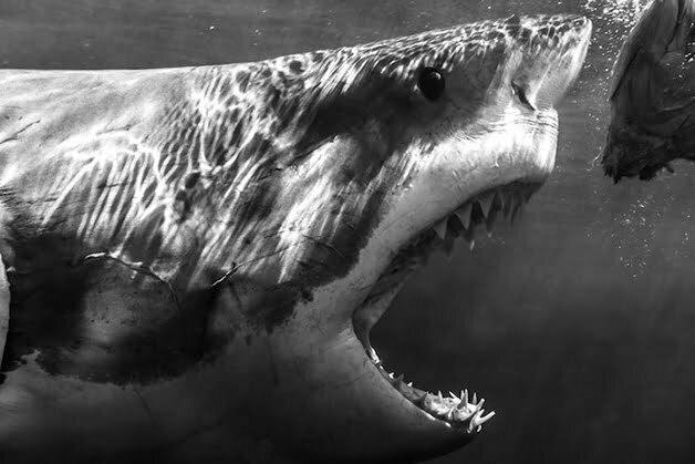 tubarões em close up, imagem de tubarão