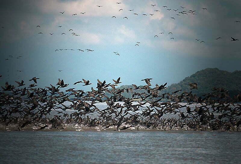 Reserva Biológica Marinha do Arvoredo, Santa Catarina, imagem de revoada de biguas-na-baía-de-babitonga,-SC-a-