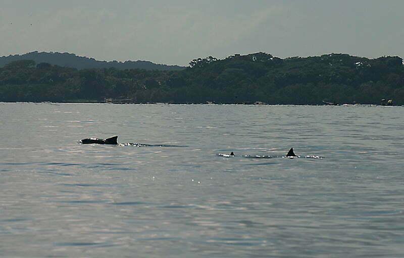 Reserva Biológica Marinha do Arvoredo, Santa Catarina, imagem de botos-cinza,-baía-da-babitonga,-sc