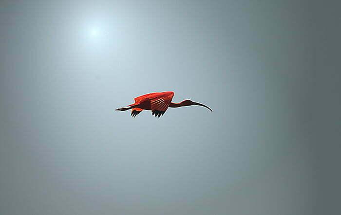 Reserva Biológica Marinha do Arvoredo, Santa Catarina, imagem de guara-em-voo-baía-da-babitonga,-sc