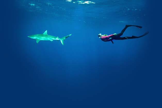 Bióloga nada com tubarões brancos, Foto de bióloga nadando com tubarão.