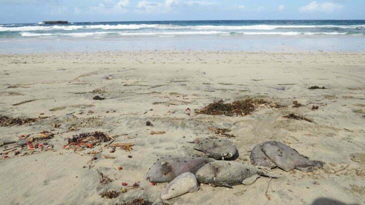 morte de peixes, imagem de peixes mortos em praias de fernando de noronha