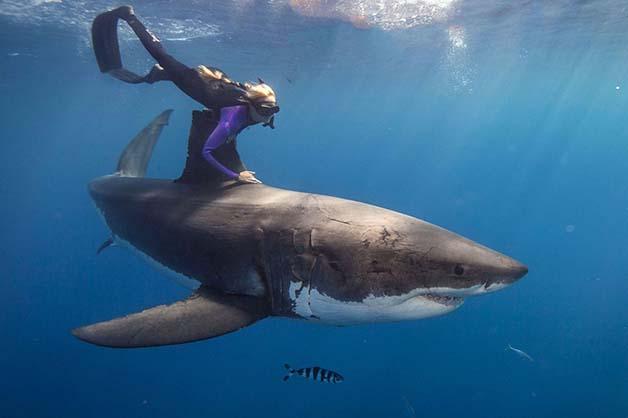 Bióloga nada com tubarões brancos, imagem de bióloga nadando com tubarão branco