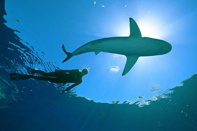 Bióloga nada com tubarões brancos, imagem de Bióloga nadando com tubarões brancos