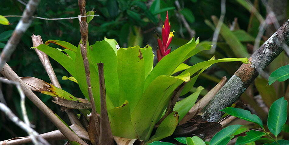 RPPN Salto Morato, Reserva Particular do Patrimônio Natural Salto Morato, imagem de bromélia-inteira com flor