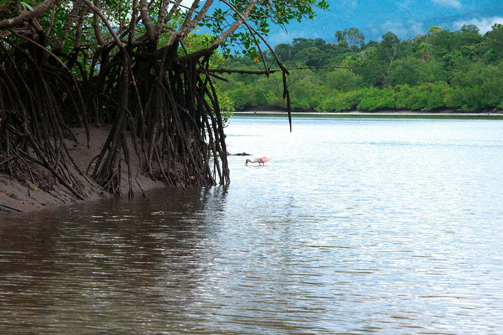 colhereiro no mangguezal APA E ESEC de Guaraqueçaba