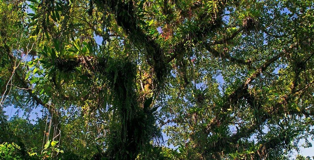 RPPN Salto Morato, Reserva Particular do Patrimônio Natural Salto Morato, imagem da copa-de uma figueira