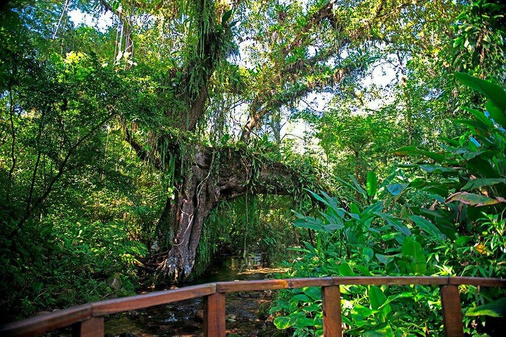 RPPN Salto Morato, Reserva Particular do Patrimônio Natural Salto Morato, imagem de figueira-dividida-