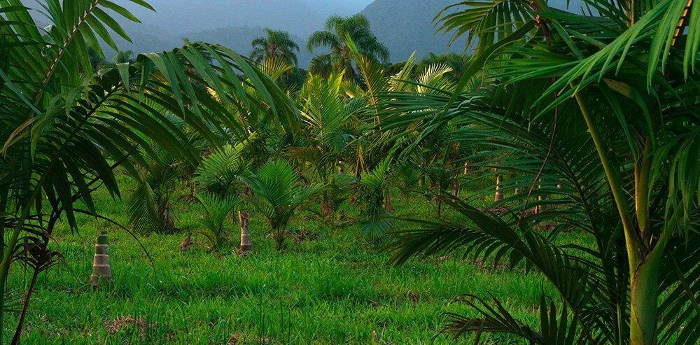 palmeira-real,APA E ESEC de Guaraqueçaba