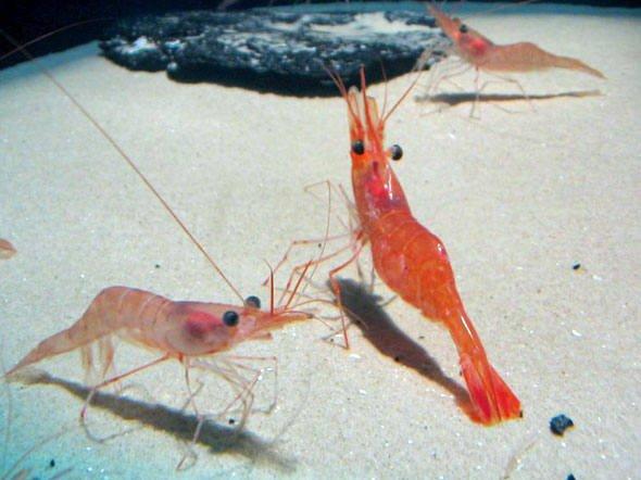 Casca do camarão, imagem de camarões