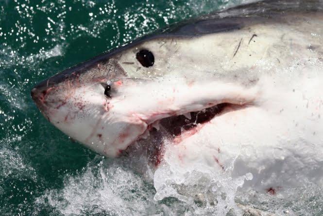 imagem de tubarão