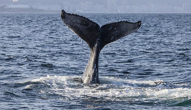imagem baleia jubarte no litoral do rio