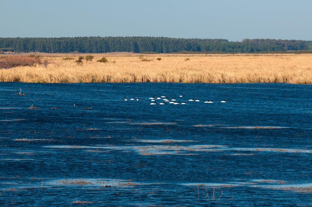 Projeto de Lei ameaça Unidades de Conservação brasileiras, imagem de lago com cisnes-pescoço-negro