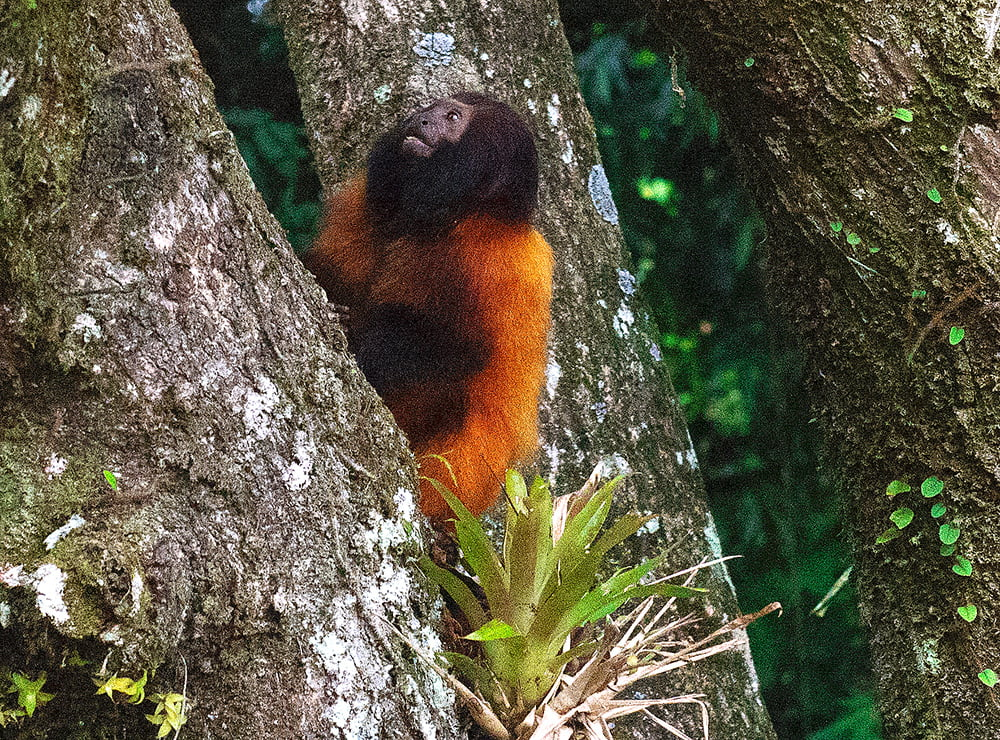 Trailer sobre o Parque Nacional do Superagui, imagem de mico-leão de cara preta-