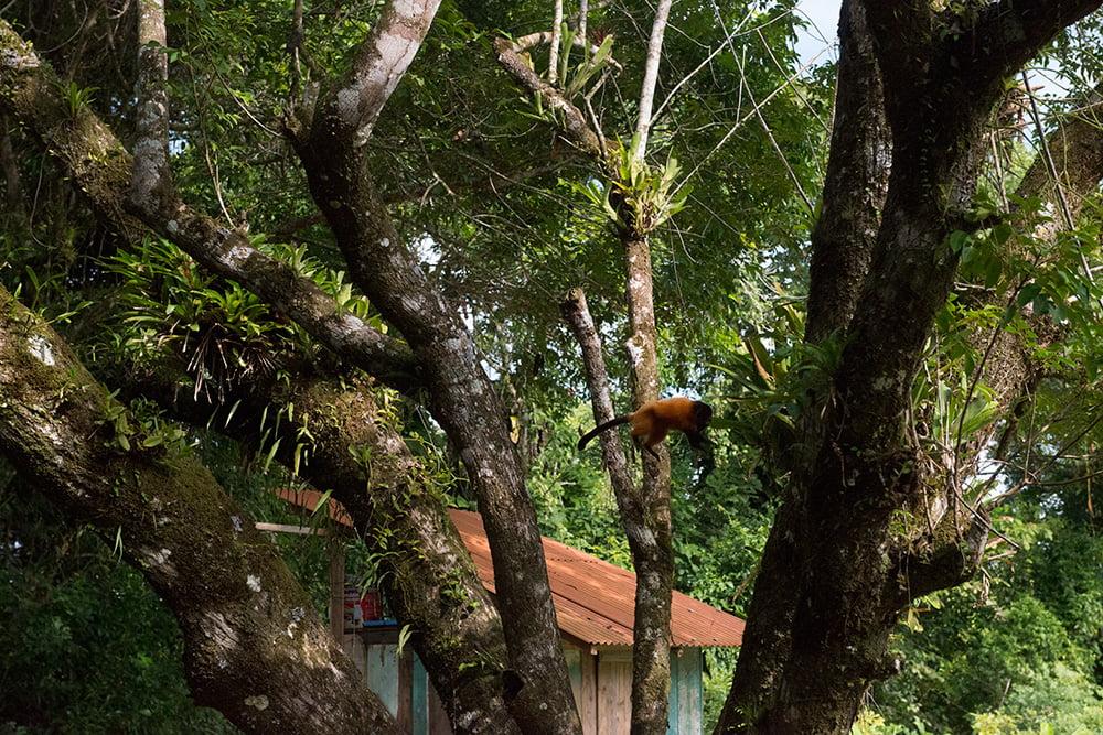 imagem de mico-leão saltando noParque Nacional do Superagui, Paraná