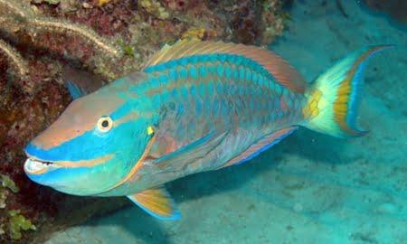 Imagem peixe papagaio
