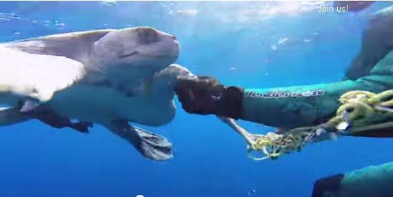 imagem mergulhador liberta tartaruga