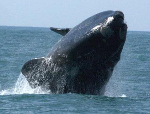rio grande do sul paraiso oficial das baleias, imagem baleia franca - Rio Grande do Sul