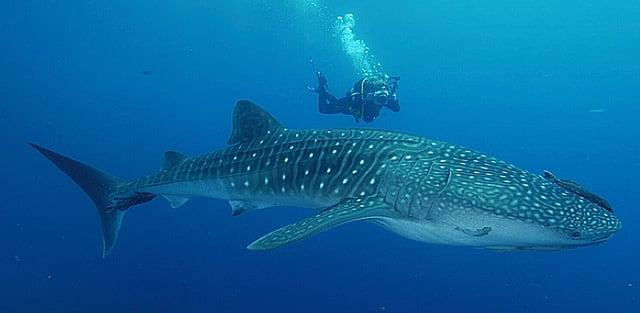 ilhas da Queimada Pequena e Queimada Grande, imagem de tubarao-baleia-