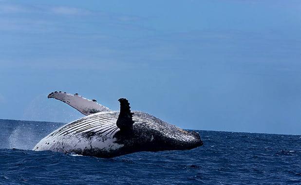 imagem de baleia saltando na campanha O canto das Baleias