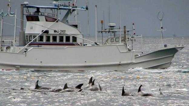 Japão vai retomar caça às baleias em 2015, imagem e barco cercado de baleias