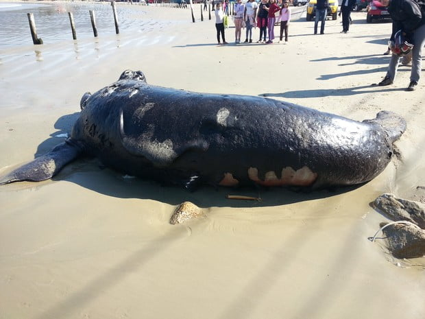 imagem filhote baleia franca morto