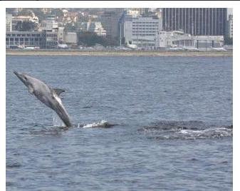 golfinhos na baía de guanabara
