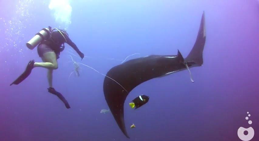 imagem mergulhador salvando raia manta