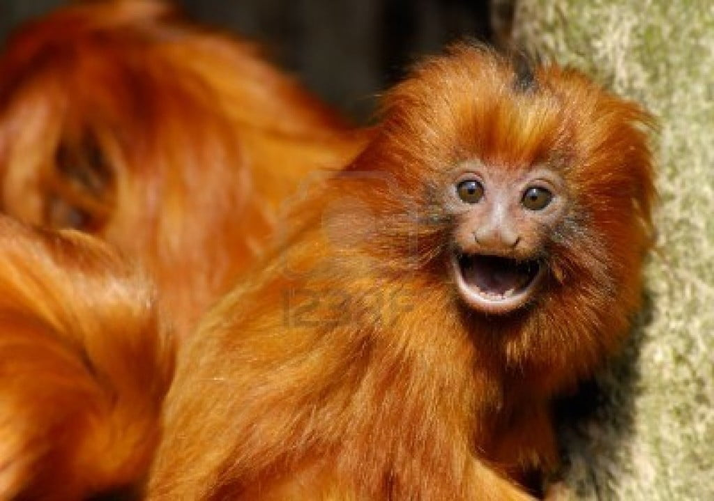 imagem mico leão