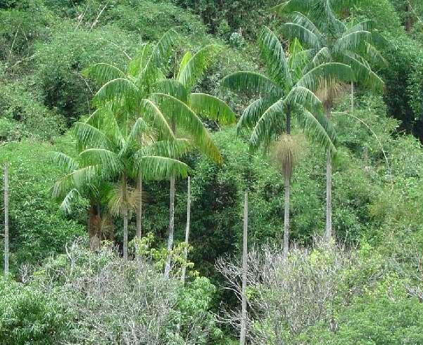 imagem palmeira juçara