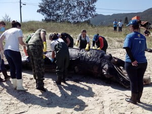 Filhote de baleia, imagem de  filhote de baleia morto