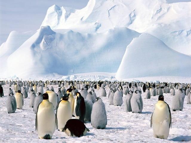 imagem pinguim antártica