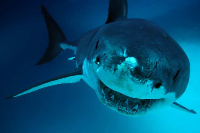 imagem tubarão australia