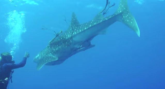 Mergulhadores libertam, imagem tubarao baleia rede de pesca