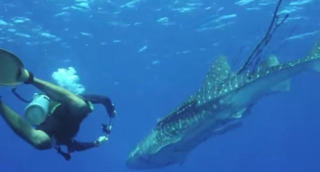 Mergulhadores libertam, imagem de tubarão baleia e mergulhador